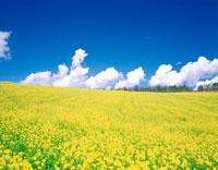 菜の花咲く丘 20014000270| 写真素材・ストックフォト・画像・イラスト素材|アマナイメージズ
