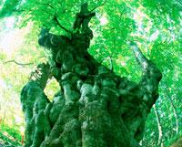 新緑の大木 20014000375| 写真素材・ストックフォト・画像・イラスト素材|アマナイメージズ