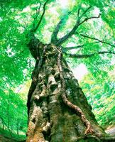 新緑の大木 20014000381| 写真素材・ストックフォト・画像・イラスト素材|アマナイメージズ