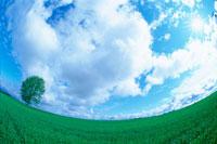 麦畑に一本の木