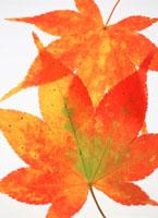 紅葉の葉 20014000873| 写真素材・ストックフォト・画像・イラスト素材|アマナイメージズ