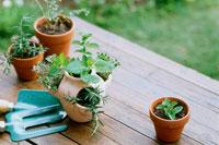 植木鉢のハーブ