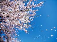 桜吹雪 20014001326| 写真素材・ストックフォト・画像・イラスト素材|アマナイメージズ