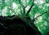 ブナの大木 20014001370| 写真素材・ストックフォト・画像・イラスト素材|アマナイメージズ