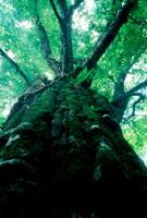 ブナの大木 20014001419| 写真素材・ストックフォト・画像・イラスト素材|アマナイメージズ