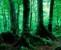 新緑の森林 20014001420| 写真素材・ストックフォト・画像・イラスト素材|アマナイメージズ