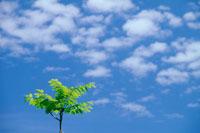 青空と新緑のクルミの木