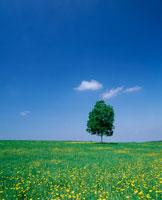 タンポポ咲く草原と一本の木