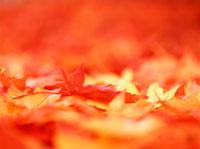 カエデの落葉 20014001543| 写真素材・ストックフォト・画像・イラスト素材|アマナイメージズ