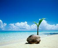 砂浜のヤシの実 20014001812| 写真素材・ストックフォト・画像・イラスト素材|アマナイメージズ