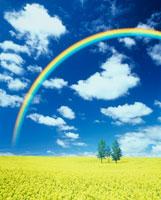 菜の花畑と青空の虹