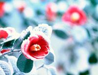 雪のついた椿の花アップ 20014002221| 写真素材・ストックフォト・画像・イラスト素材|アマナイメージズ