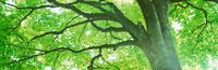 新緑のアズキナシの木