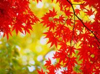 紅葉のカエデの葉アップ 20014002420| 写真素材・ストックフォト・画像・イラスト素材|アマナイメージズ