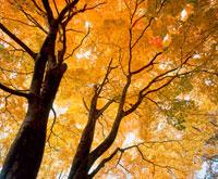 紅葉のヤマモミジの木 20014002435| 写真素材・ストックフォト・画像・イラスト素材|アマナイメージズ