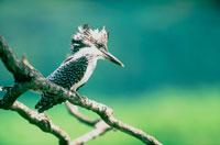 枝にとまるヤマセミアップ 20014002839| 写真素材・ストックフォト・画像・イラスト素材|アマナイメージズ