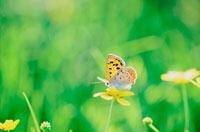 黄色の花にとまるベニシジミ 20014002846| 写真素材・ストックフォト・画像・イラスト素材|アマナイメージズ
