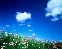 青空と雲とコスモス畑 20014003388| 写真素材・ストックフォト・画像・イラスト素材|アマナイメージズ