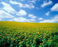 空と雲とヒマワリ畑