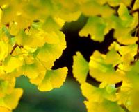 黄葉の葉アップ 20014003569| 写真素材・ストックフォト・画像・イラスト素材|アマナイメージズ