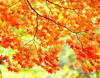 紅葉の枝葉 20014003573| 写真素材・ストックフォト・画像・イラスト素材|アマナイメージズ