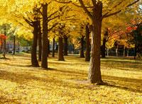 公園の黄葉する銀杏の木