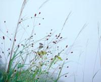 ススキとワレモコウとオミナエシ 20014003613| 写真素材・ストックフォト・画像・イラスト素材|アマナイメージズ