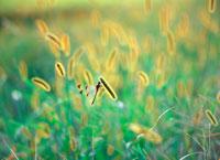 エノコログサにとまるトンボ 20014003614| 写真素材・ストックフォト・画像・イラスト素材|アマナイメージズ