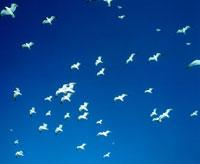 青空とはばたくウミネコの群れ