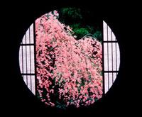 丸窓からの桜 20014004158| 写真素材・ストックフォト・画像・イラスト素材|アマナイメージズ