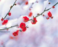 紅梅に雪 20014004812| 写真素材・ストックフォト・画像・イラスト素材|アマナイメージズ