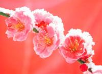 梅の花に雪