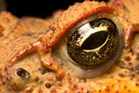cane toads eye
