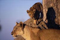 Lioness playing with lion cub at dawn