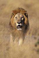 Lion walking through tall grass