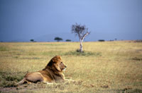 Lion sitting in grass