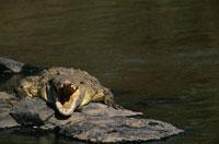 Nile crocodile resting on rock