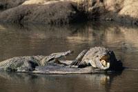 Crocodile resting on rock