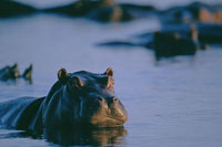 Hippopotamus swimming in Chobe River