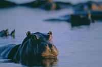 Hippopotamus swimming in Chobe River