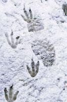 Gentoo Penguin footrprints in snow