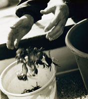 man  putting  crayfish  into bucket