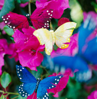 bougainvillea with butterflys