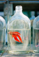 a goldfish in a bottle