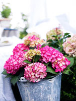 Hydrangea in a bucket,Sweden.
