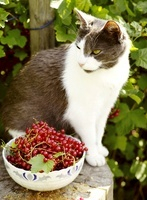 Cat sitting by bowl of red currants