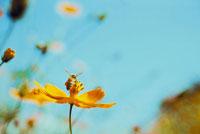 青空とオレンジ色のコスモスにとまる蜂
