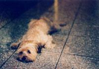 床で涼む犬