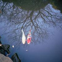 池を泳ぐ鯉と枯れ木の影