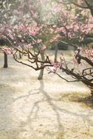 梅の花と光 20021001131| 写真素材・ストックフォト・画像・イラスト素材|アマナイメージズ